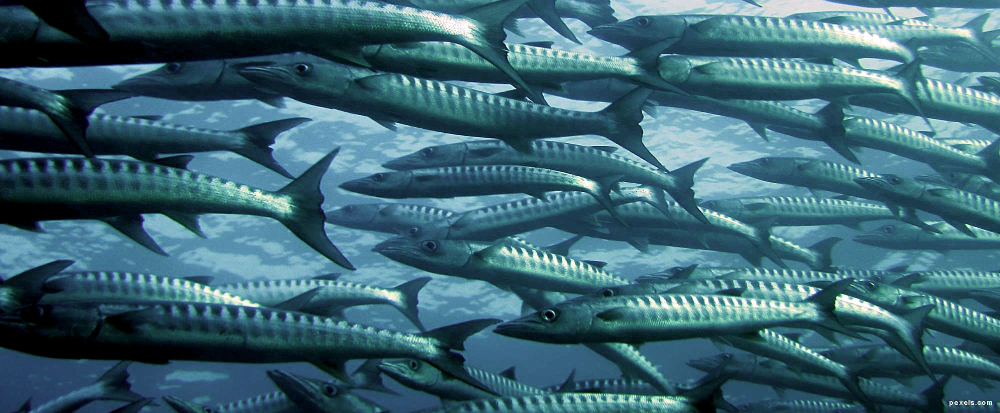 barracuda - Ph. NOAA's National Ocean Service