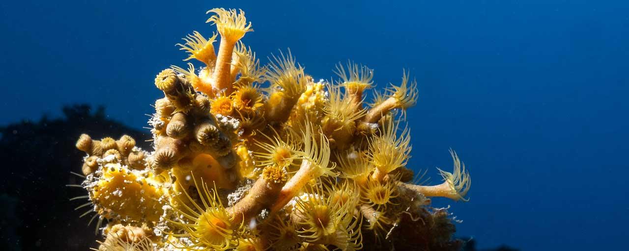 corallo di calafuria